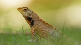 Close up of a lizard Royalty Free Stock Images