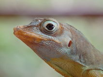 Close-up of a lizard on Bequia Royalty Free Stock Photo