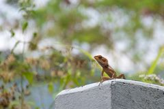Close up of lizard on a blurred background stock images