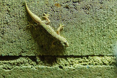 Close up lizard on the brick wall at night. Abstract background Royalty Free Stock Image