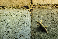 Close up lizard on the brick wall at night. Abstract background Stock Image