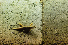 Close up lizard on the brick wall at night. Abstract background Stock Photos