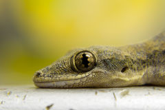 Close up lizard eye Royalty Free Stock Image