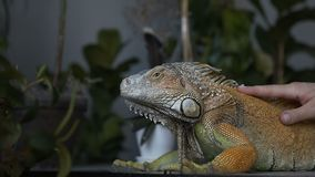 Close-up. The lizard of iguana with large claws sits in the room. The girl strokes her pet reptile. Wild animal at home. Slow motion stock video