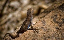 Close up of a Lizard. Macro shot of a Lizard Stock Images