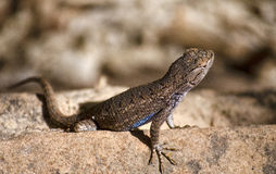Close up of a Lizard. Macro shot of a lizard Royalty Free Stock Images