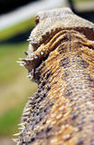 Close up of lizard Stock Image