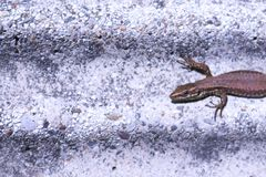 Close-up of a lizard sunbathing on a stone wall royalty free stock photography