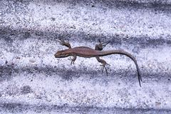 Close-up of a lizard sunbathing on a stone wall royalty free stock photos