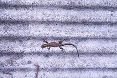 Close-up of a lizard sunbathing on a stone wall stock image