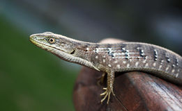 Close up of a lizard taking a step. Royalty Free Stock Photography