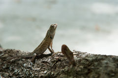 Close up of lizard Royalty Free Stock Image