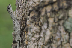 Close-up lizard & x28;red chameleon& x29; on tree Royalty Free Stock Photography