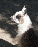 Close up of a Llama Royalty Free Stock Photography