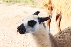 Close up of a llama Royalty Free Stock Image