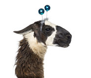 Close-up of a Llama wearing a headband Stock Photo