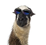 Close-up of a Llama wearing sunglasses Stock Images