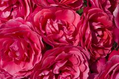 A close up of a large bunch of Red Camellias stock images