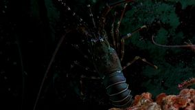 Close up Lobster in fish tank. In the aquarium on decoration of aquatic plants background stock video