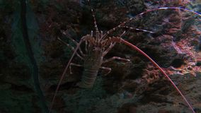 Close up Lobster in fish tank. In the aquarium on decoration of aquatic plants background stock footage