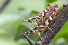 Close up locust breeding Royalty Free Stock Photography