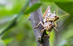 Close up locust breeding Royalty Free Stock Images