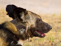 A close up of a lone collared Wild dog in Hwange National Park Royalty Free Stock Photography