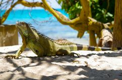 Close up of lonely beautiful green iguana resting over a sand in san Andres beach in a beautiful burred background.  Royalty Free Stock Photography