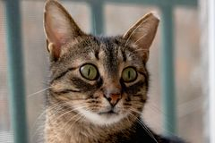 Close up lonely cat with big green eyes, thick whiskers. Is sitting and looking for his owner royalty free stock photo