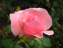 Close-up of a lonely pink rose. Rose opened from the bud. The rose is fresh and tender. Side view