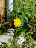 Close up lonely yellow flower 4k. Yellow flower close up in garden 4k Stock Photos