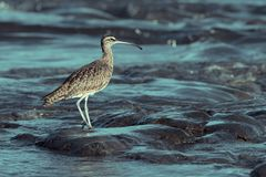 Close up of a Long-Billed Curlew in Costa Rica at sunrise. Close up of a Long-Billed Curlew hunting for breakfast along the shore in Guanacaste, Costa Rica stock photo