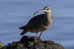 Close up of a Long-Billed Curlew in Costa Rica at sunrise. Close up of a Long-Billed Curlew hunting for breakfast along the shore in Guanacaste, Costa Rica stock image
