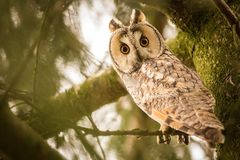 Close-up Long-eared Owl. Owl in the forest. Long-eared Owl sitting on the branch in the fallen larch forest during autumn. Wildlife scene from the nature habitat Royalty Free Stock Photo