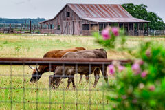 Close up of Long horn steer grazing on a Texas rural road. Texas hill country road with rustic barn, longhorn and meadow of wild flowers Stock Photography