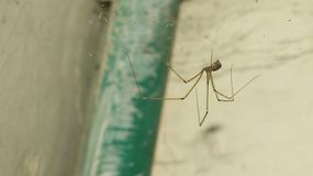 Close up of a long leg brown spider royalty free stock photos