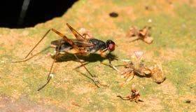 Close up long-legged flies Royalty Free Stock Photos