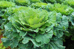 Close up long  lived cabbage blooming in garden and agriculture. Organic farm Stock Photography