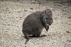 Long nosed potoroo. This is a close up of a long nose potoroo Royalty Free Stock Photos