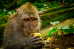 Close up of a long-tailed macaques Macaca fascicularis in The Ubud Monkey Forest Temple eating a cob corn using his. Hands, on Bali Indonesia Royalty Free Stock Image