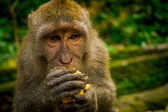 Close up of a long-tailed macaques Macaca fascicularis in The Ubud Monkey Forest Temple eating a cob corn using his. Hands, on Bali Indonesia Stock Images