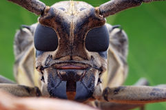 Longhorn beetle closeup. Close up of a longhorn beetle (Cerambycidae; also known as long-horned beetles or longicorns Stock Image