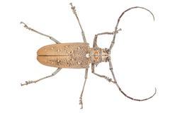 Close up of a Longhorn beetle ( Coleoptera-Cerambycidae ) Royalty Free Stock Photo
