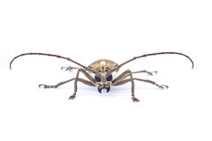 Close up of a Longhorn beetle ( Coleoptera-Cerambycidae ) Royalty Free Stock Photography