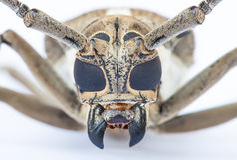 Close up of a Longhorn beetle ( Coleoptera-Cerambycidae ) Royalty Free Stock Photos