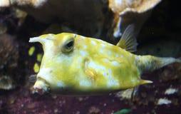 Longhorn cowfish, Lactoria cornuta royalty free stock photos