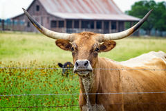 Close up of longhorn steer on a country road in the rural Texas Hill Country. Scenes from a Texas hill country road in rural Texas with longhorn cow, fence Royalty Free Stock Photo