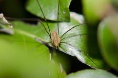 Close-up longo da aranha do pé do paizinho Imagens de Stock Royalty Free
