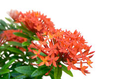 Close-up look of a bunch of fully bloomed red ixora - Isolated with white background Stock Photo