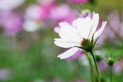 Close-up look of cosmos Royalty Free Stock Photography